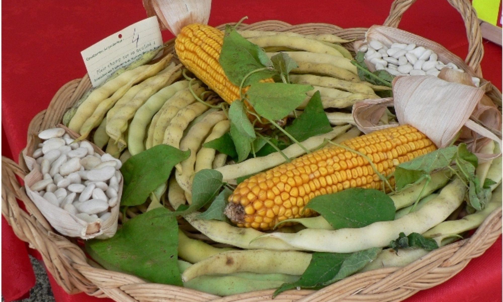 Haricot Maïs du Béarn ®