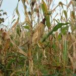 Haricots-Maïs du Béarn sec au champs - fin de saison