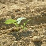 Levée de l'association du haricot et du maïs